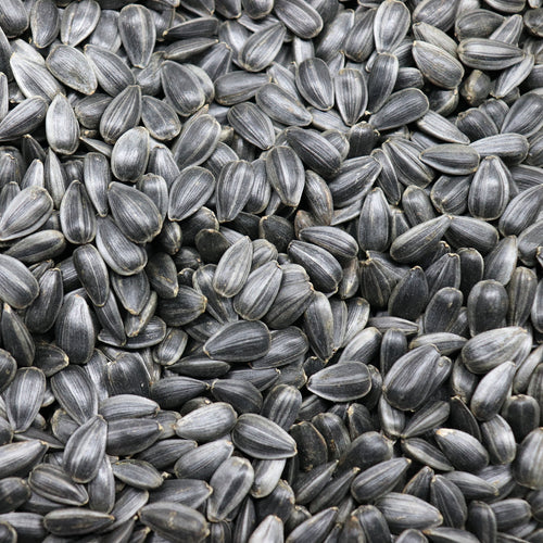 Organic & Non-GMO Black Oil SUNFLOWER MICROGREENS SEEDS