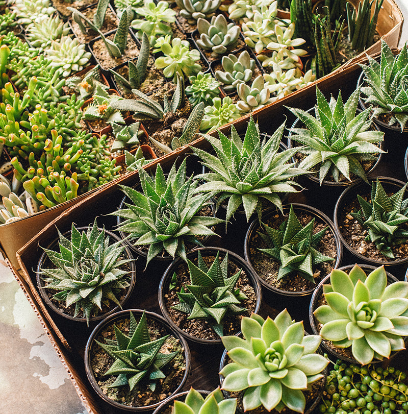 The Full Sun Plant Sale Glasswing
