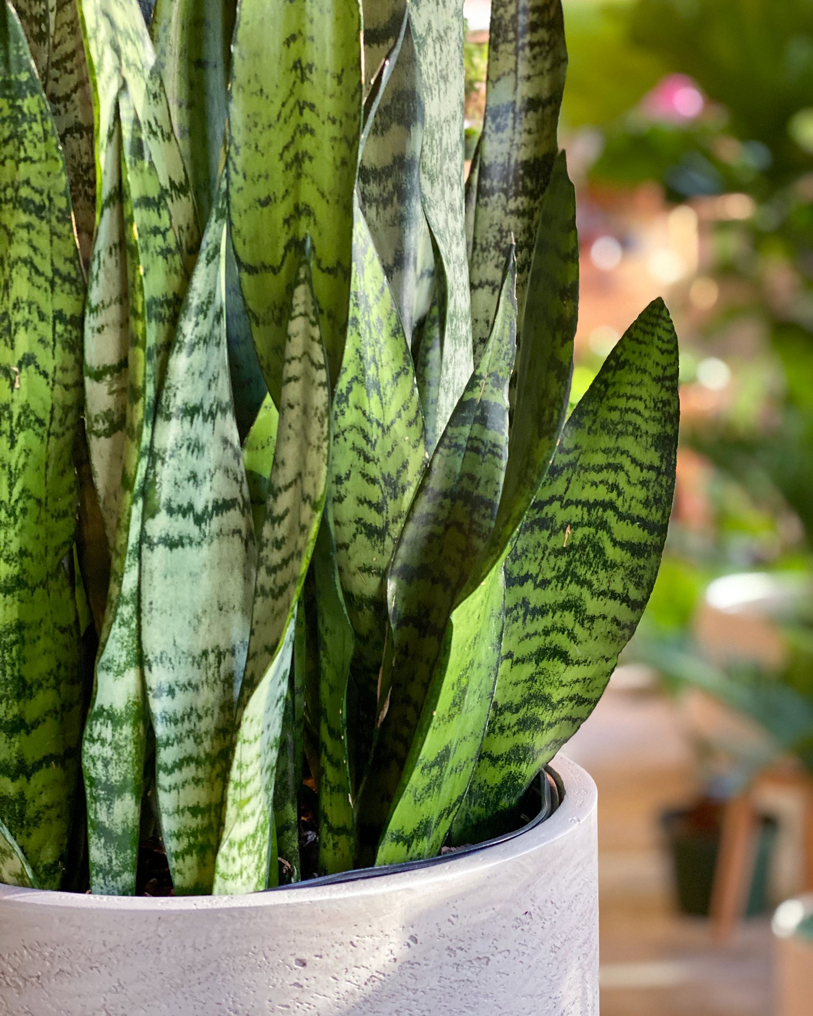 Plant Special, Snake Plant x Charlie Pot