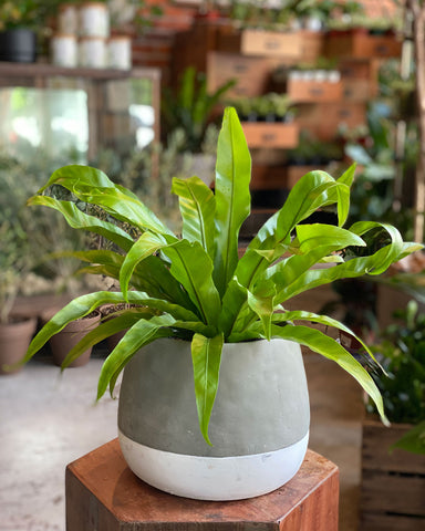 Plant Special, Bird's Nest Fern x Ash Pot