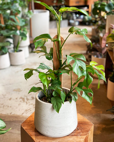 Plant Special, Monstera Ginny x Patt Pot