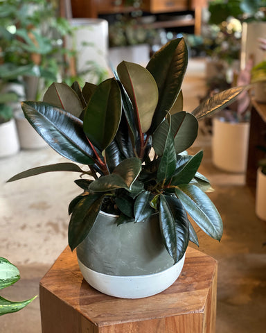Plant Special, Rubber Tree x Ash Pot