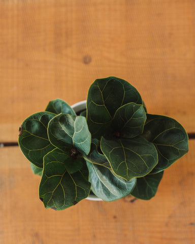 "Ficus lyrata, ""Fiddle Leaf Fig"""