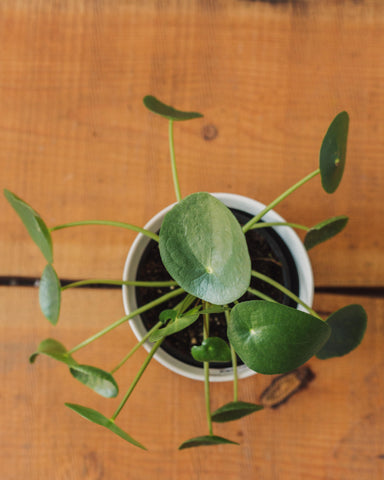 "Pilea Peperomioides, ""Chinese Money Plant"""
