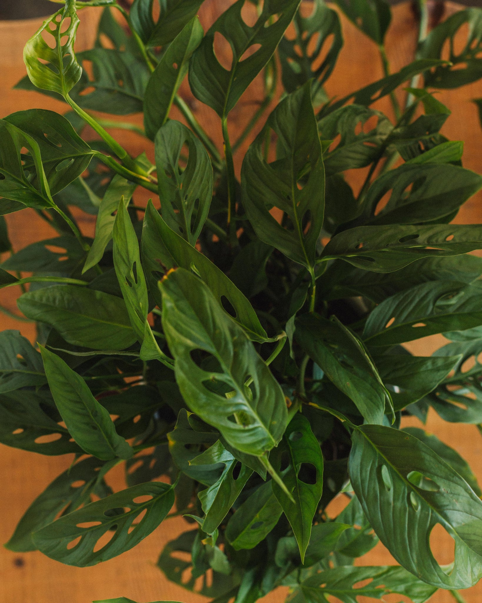 "Philodendron adansonii, ""Swiss Cheese Plant"""