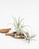 Tillandsia - Harrisii