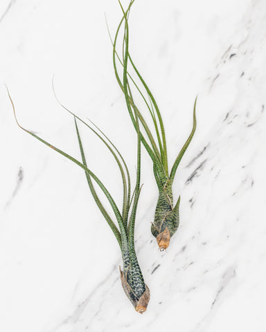 Tillandsia, Butzii Air Plant