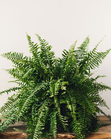 "Nephrolepis exaltata, ""Boston Fern"""