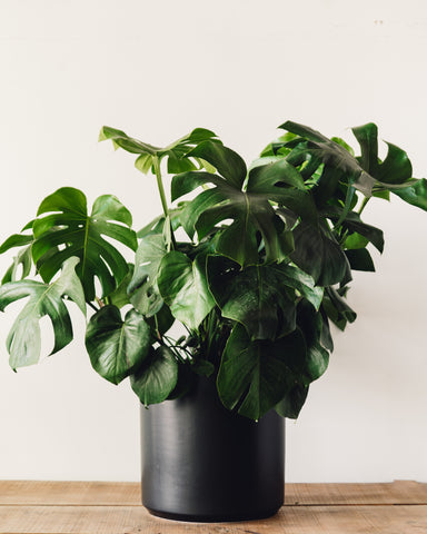 "Monstera deliciosa, ""Split Leaf Philodendron"""