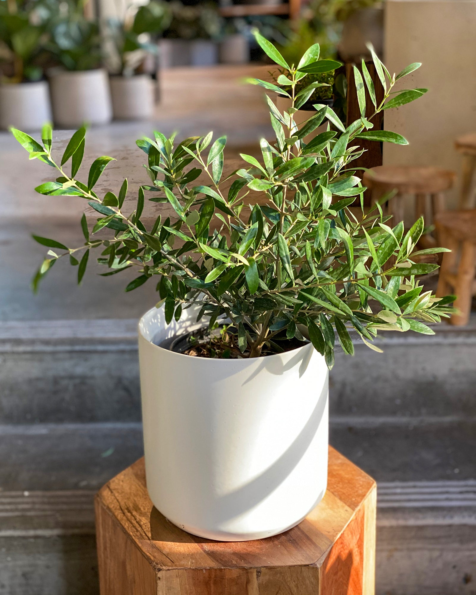Plant Special, Montra Olive Tree x Kendall Pot