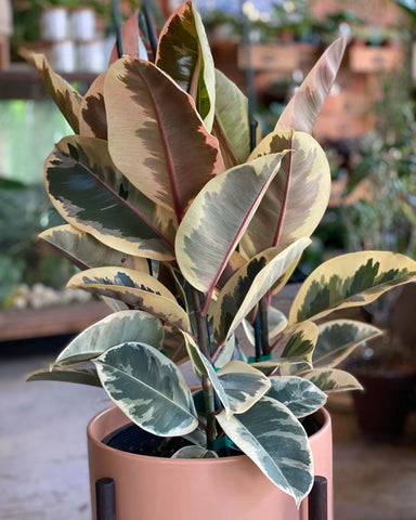 Plant Special, Variegated Rubber Tree 10""