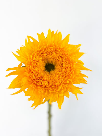 HELIANTHUS NETHERLANDS - TEDDY BEAR