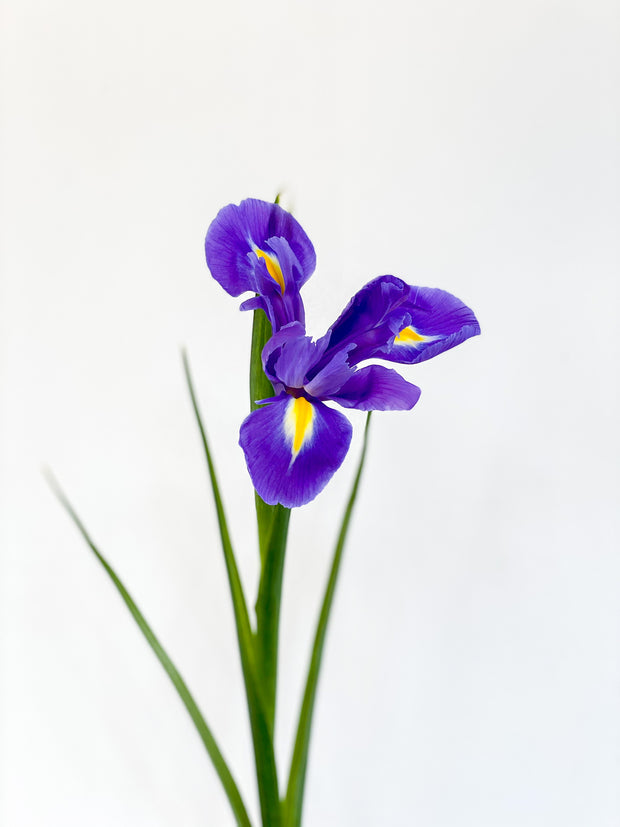 IRIS NETHERLANDS - BLEU MAGIC - LA ATELIER SINGAPORE