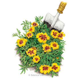 Naughty Marietta French Marigold Seed