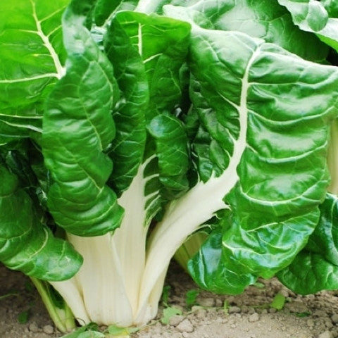 Fordhook Giant Chard Organic Seed