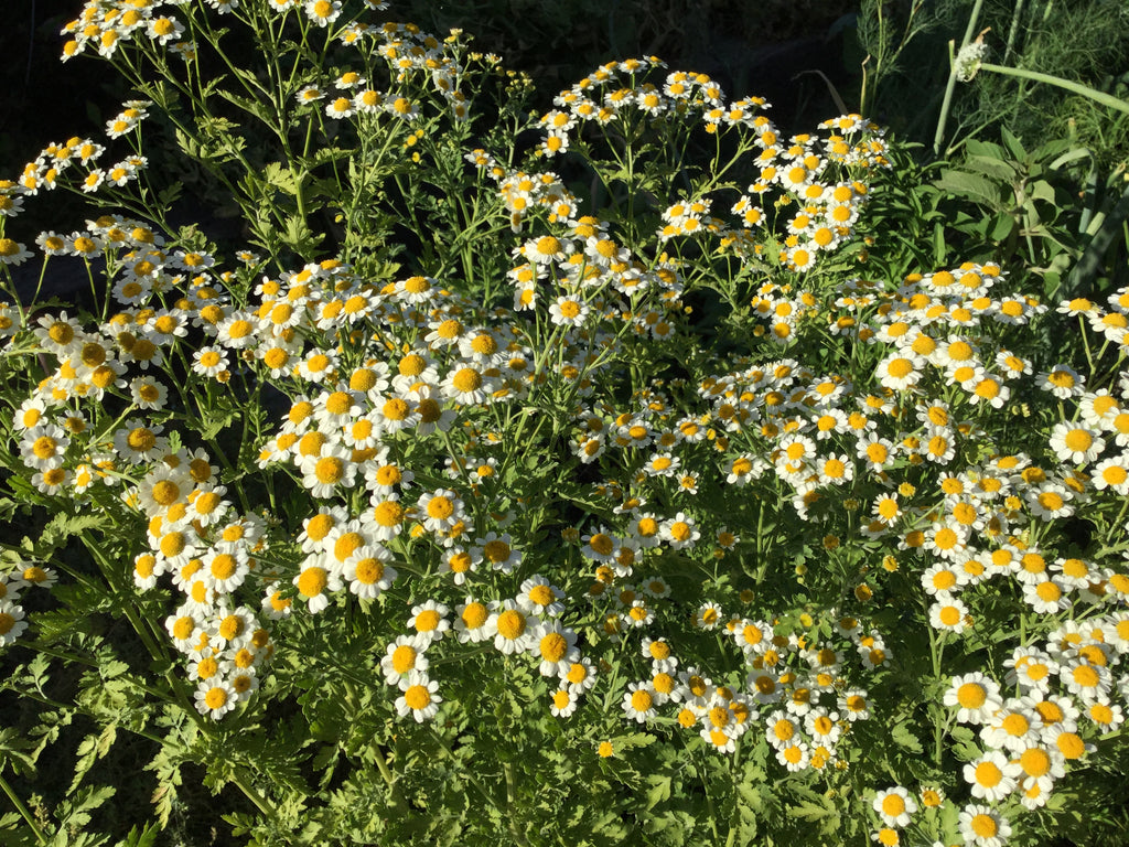 German Chamomile Herb Seed