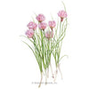 Chives Herb Seed