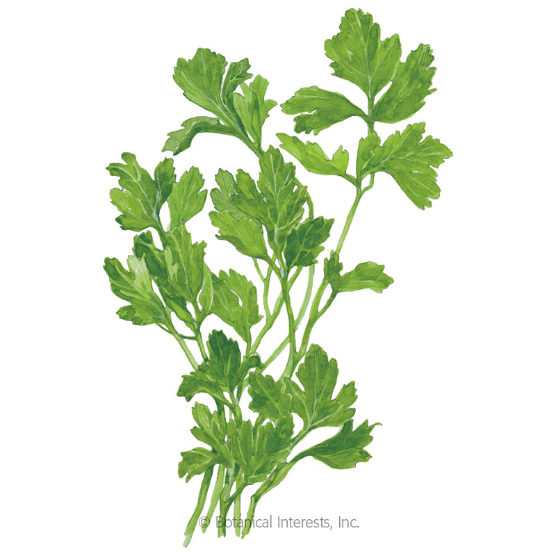 Flat Leaf Parsley Seeds