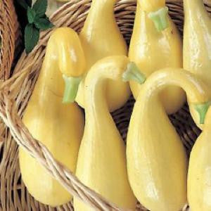 Yellow Crookneck Squash Seeds
