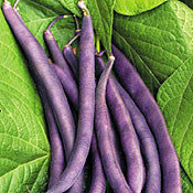 Royal Burgundy Bush Bean Seed