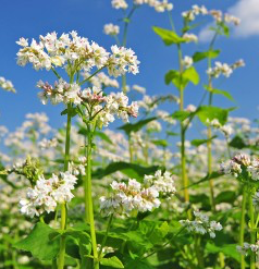Common Buckwheat Cover Crop Seed