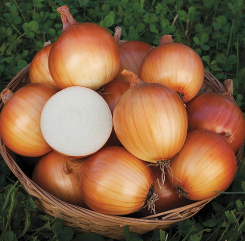 New York Onion Seed