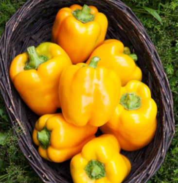 Golden California Wonder Sweet Pepper Seeds