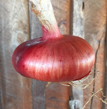 Flat of Italy Onion Seed