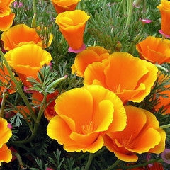 California Poppy Wildflower Seeds