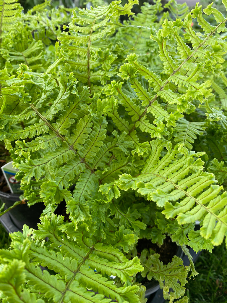 Dryopteris affinities Cristata the King