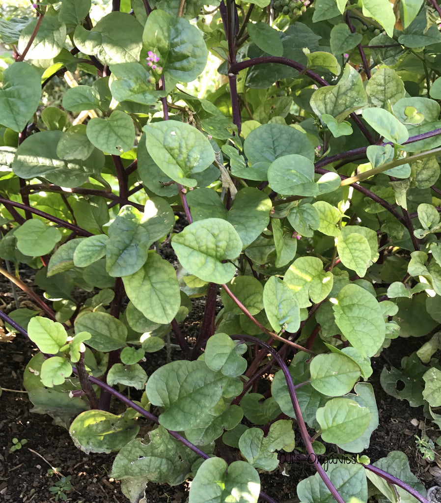 Red Malabar Spinach Organic Seeds
