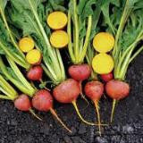 Touchstone Gold Beet Seed