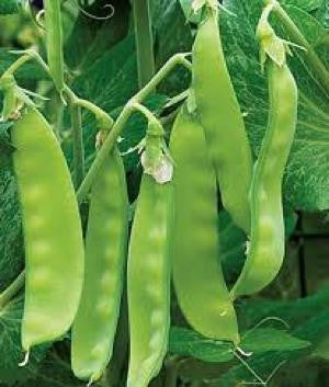 Oregon Sugar Pod Snow Pea Seed
