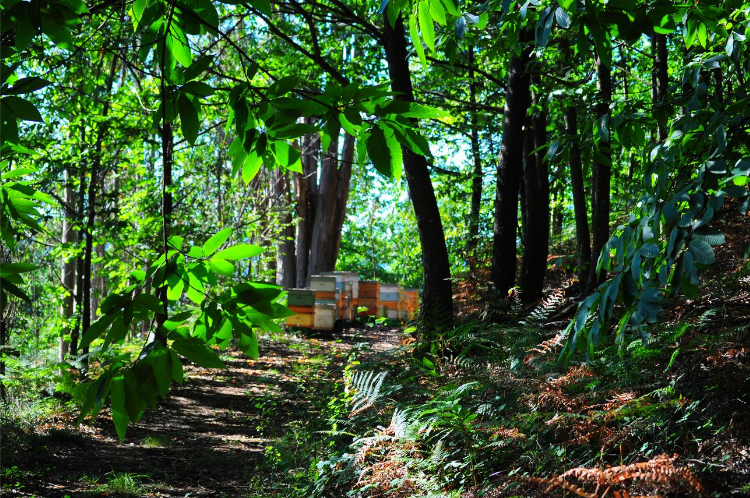 Hives in an ancient forest