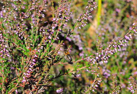 Photo of bee on a heather plant
