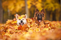 Dogs in Pile of Leaves