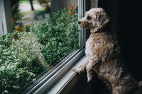 Can Dogs Smell Fear? by Dr. Sarah Wooten - Repost from petMD.com