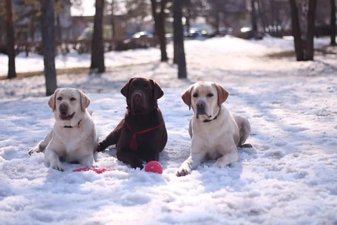 3 labs in the snow