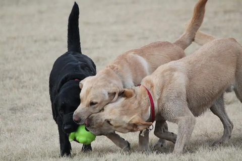 Three Labs playing with a tennis ball