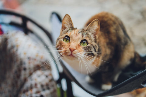 Signs of Phosphorous Deficiency in cats pp blog cat pic