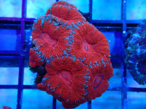 Acan (Fractured Rose)