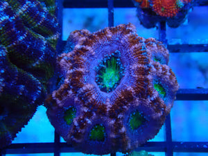 Acan (Purple Nurple)