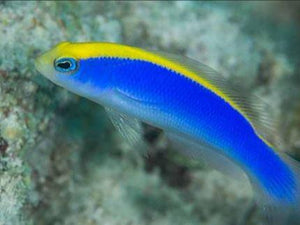 Sunrise Royal Dottyback