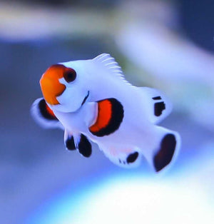 Fancy White Clownfish (Pair)
