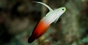 Fire Tail Goby