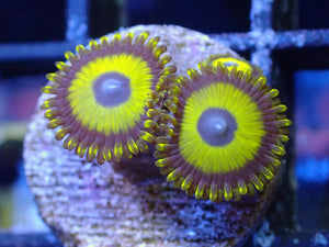 Lime Lakers (Zoa)