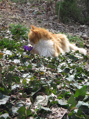 Harry the cat smells a crocus