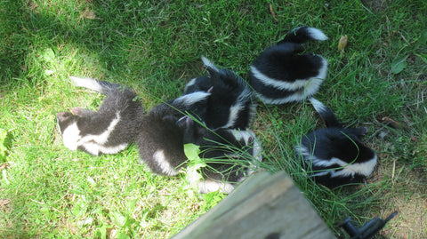 group of skunks