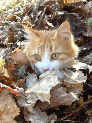 Harry the cat in the leaves