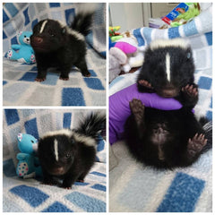baby skunk with stuffed blue bear